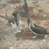 Blue-footed boobies: courtship dance